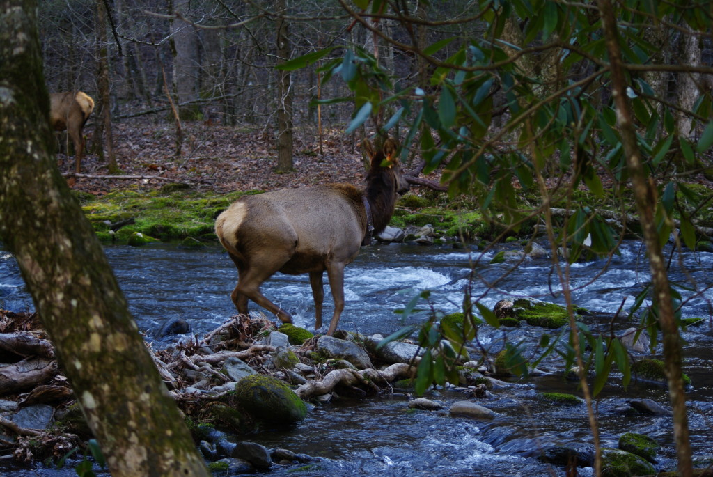 Elk are frequently seen from the roads in the GSMNP.